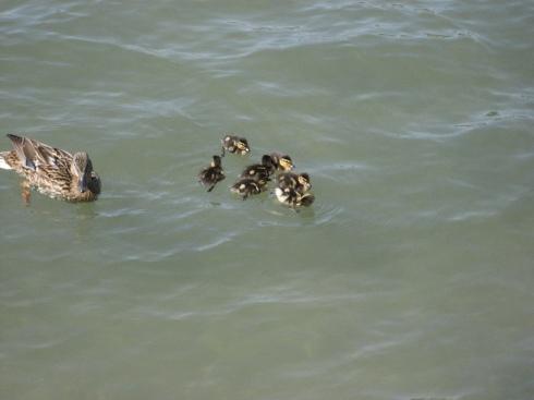 baby ducks!
